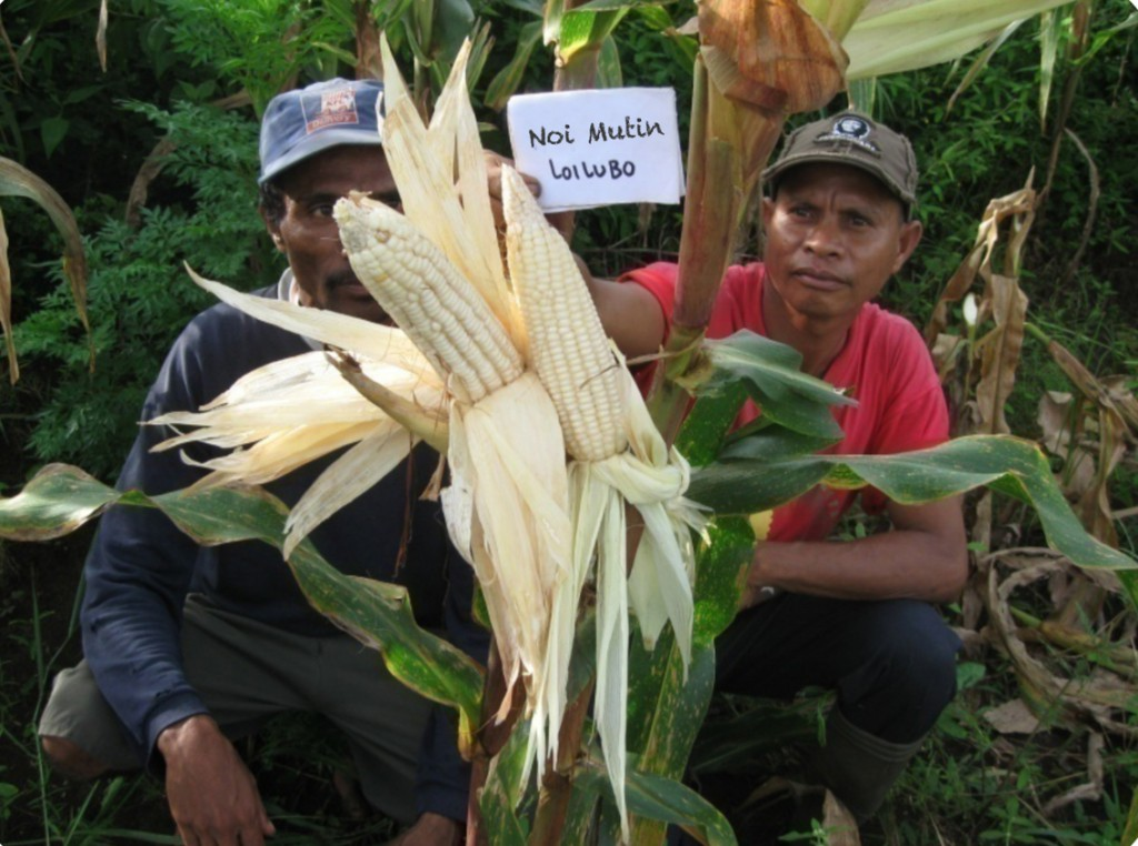 Noi Mutin and Sele maize varieties have been widely tested on research stations and with farmers © Unknown/Seeds of Life