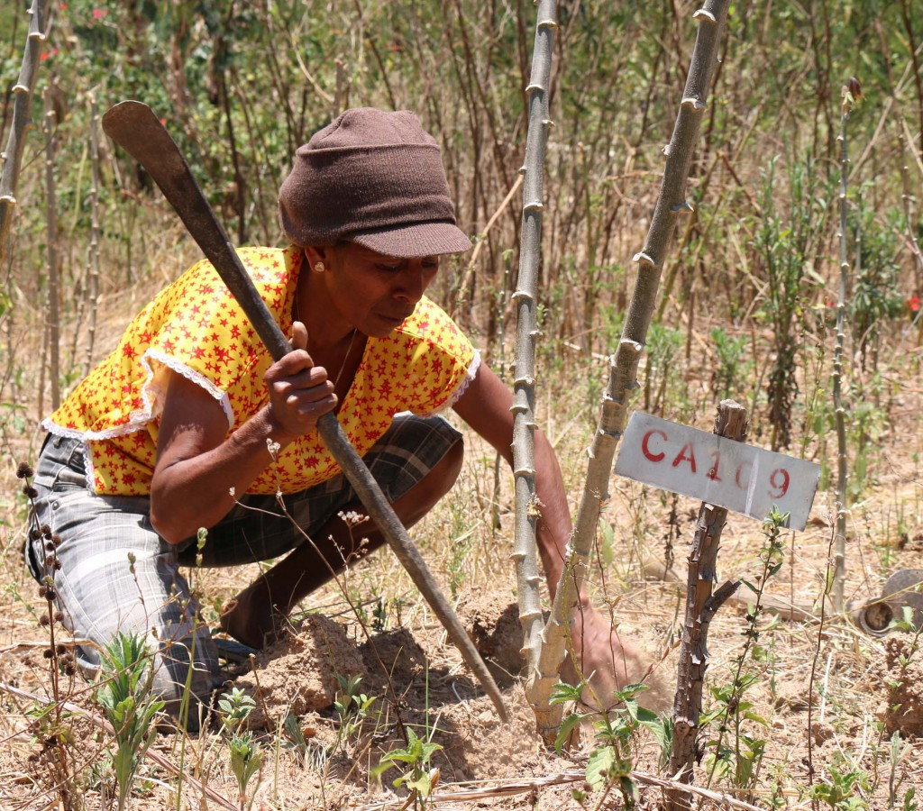 Veneranda tends to her Ai-Luka 1 crop in her field in Bandeira Hun aldeia, Aileu